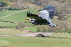 Muncaster Herons (Maria-H) Tags: copelanddistrict england unitedkingdom gb greyheron ardeacinerea flight muncastercastle cumbria lakedistrict uk olympus omdem1markii panasonic 100400
