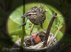 DSC_4393 (mikeyasp) Tags: redwingedblackbird birds avian nests nesting feeding nature outdoors female momabird
