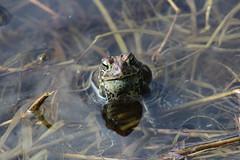 Anglų lietuvių žodynas. Žodis spring frog reiškia pavasarį varlių lietuviškai.