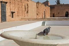 Thirsty Dove (jennifer.stahn) Tags: travel travelphotography animal taube dove pigeon marrakech marrakesch marrakesh maroc marocco marokko el badi palast palace elbadi nikon jennifer stahn