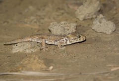 Keyserling's Plate-tailed Gecko (Teratoscincus keyserlingii) (piazzi1969) Tags: elements canon eos 5d markiii ef100400mm keyserlingsplatetailedgecko teratoscincuskeyserlingii platetailedgecko geckos herps reptiles reptilien nature fauna wildlife iran middleeast