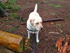Gracie in the wet woods (walneylad) Tags: gracie dog canine pet puppy lab labrador labradorretriever cute april spring