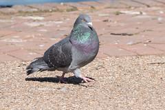 Feral Pigeons/Rock Doves (Columba livia) (Baldyal) Tags: pigeon rock dove bird wildlife ellesmere shropshire