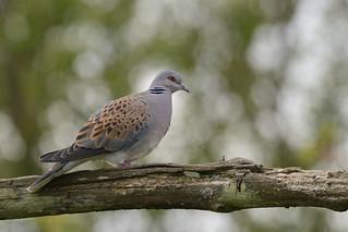 Turtle Dove Titchwel RSPB