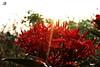 Ixora coccinea (rahul_ramesh) Tags: flower red morning bliss green sun light