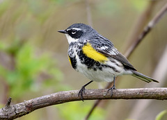 Yellow-rumped Warbler (snooker2009) Tags: yellowrumped warbler bird nature wildlife pennsylvania migration spring fall
