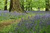 26/100; Bluebell walk (Shepspics) Tags: bluebells walk lanhyrock woods tree roots mangled 100xthe2017edition 100x2017 image26100 mayflowers may flowers