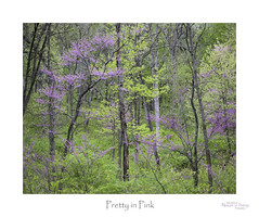 Pretty in Pink (baldwinm16) Tags: il illinois may midwest nature redbud season spring springgreen woodland woods natureofthingsphotography