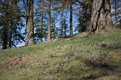 printemps (bulbocode909) Tags: valais suisse alpagedutronc montchemin nature montagnes printemps arbres troncs mélèzes fleurs vert bleu