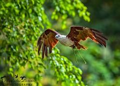 Brahminy Kite (Modestus Lorence) Tags: isii f28 300mm markii 1dx canon flight bif jurong birdpark singapore brahminy kite birds animals