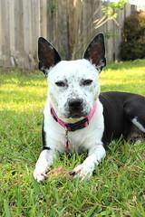 Calli (JF Naquin) Tags: infocus highquality dog pitbullmix pet