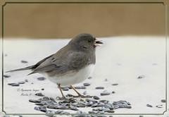 Junco And Spring (Aquamarine Images) Tags: birds juncobird smallbirds graybirds winterbirds sparrows birdscloseups aquamarineimages