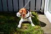 Minolta Rokkor 28mm F2.5 SI (adi_stoica2001) Tags: minolta mc wrokkorsi f28mm f25 1574191 sonyilce6000 manual norway norge rokkor beagle hund caine