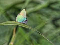 GREEN HAIRSTREAK 042017 (gazza294) Tags: greenhairstreak butterfly butterflies flicker flickr flckr flkr gazza294 garymargetts