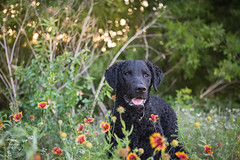18/52 Nemo (- Una -) Tags: 52weeksfordogs nemo curly curlycoatedretriever ccr retriever curlydog dog animal blackdog blackcurlycoatedretriever texas