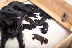 New Arrivals (Blazingstar) Tags: puppy neonate larkin puppies flatcoated retriever