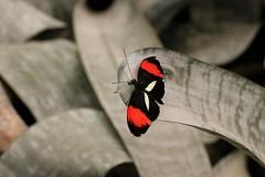 DSC05104 (Fotofreaky2013 (BUSY)) Tags: macro butterfly vlinder orchideeënhoeve vlindertuin
