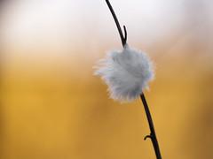 Accroche-coeur * (Titole) Tags: feather plume titole nicolefaton shallowdof soft softness branch