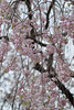 Prunus pendula 'Pleno-rosea' (Masaoki Hirai) Tags: trioplanf28100 prunus cerasus rosaceae cherryblossoms