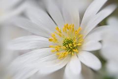 White blossom (Maria Eklind) Tags: garden spring malmö nature kungsparken vår sweden outdoor blommor slottsträdgården slottsparken flowers skånelän sverige se