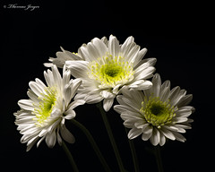 White Mum Trio 0427 Copyrighted (Tjerger) Tags: nature beautiful beauty black blackbackground bloom blooming blooms closeup flora floral flower flowers green macro mum plant portrait spring three trio white wisconsin mums natural