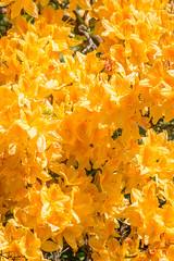 It's all Yellow (Wayne Cappleman (Haywain Photography)) Tags: wayne cappleman haywain photography farnborough hampshire king george v park yellow flowers