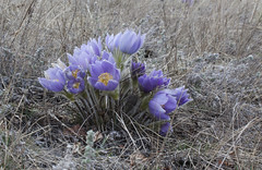 Yukon Spring (Chilkoot) Tags: crocus wildflowers pulsatilla pasqueflower spring yukon