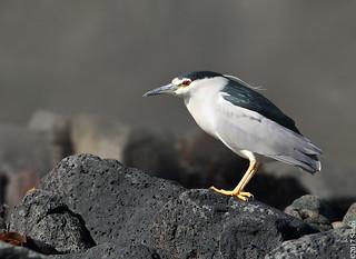 Black-crowned Night Heron (Nátthegri)
