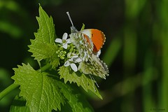 Oranjetipjes (jehazet) Tags: anthochariscardamines oranjetipje vlinders butterflies lookzonderlook alliariapetiolata jehazet