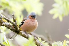 Buchfink 12 (rgr_944) Tags: vögel vogel bird oiseau tiere animaux animals natur outdoor canoneos80deos7dmk2 rgr944