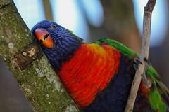 Sweet Lori (morganelafond) Tags: lori perroquet parcdesoiseaux parc parrot oiseau rouge bleu multicouleur multicolor color colorfull bird tree arbre branche