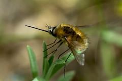 Wollschweber (planetvielfalt) Tags: auenwald bombyliidae brachycera diptera leipzigrückmarsdorf sachsen deutschland