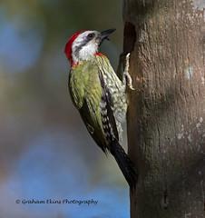 Cuban Green Woodpecker,  Xiphidiopicus percussus percussus,   Endemic, (Graham Ekins) Tags: cubangreenwoodpecker xiphidiopicuspercussuspercussus endemic solillardryforest southcuba grahamekins canon1dxii canon300mmf28iicanon14xiii 173452
