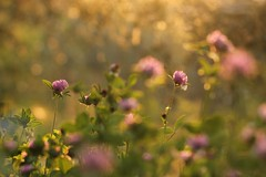 SC. (SimonaPolp) Tags: sunset tramonto bokeh light gold flowers may spring nature green purple