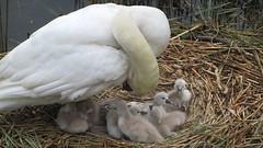 IMG_1688 (charlesvanlangeveld) Tags: knobbelzwaan zwanen knobbelzwanen mute swan cygnus olor white bird animal
