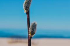 Pussy-willow (oxanatelska) Tags: pussywillow nature beauty narvajõesuu estonia beach sky blue bluesky branch macro nikon