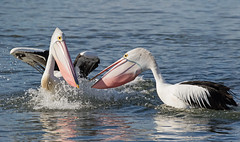 Lets party (christinaportphotography) Tags: australianpelican pelecanusconspicillatus pelican party pink centralcoast nsw australia bird birds wild free courting water