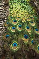 Pavocristatus1 (Edvaldomarques) Tags: pavão portoferreira cor aves brasil nikon natureza nature brazil freedomlife freedom spiritofphotography musictomyeyes