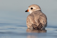 Piping Plover (Matt F.) Tags: bird piping plover nature