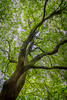 Fulham Palace OGSW 2016 - 3160.jpg (DavidRBadger) Tags: fulhampalacegardens opengardensquares oaktree ogsw holmoak agreattreeoflondon evergreen coppiced historictree quercusilex 500yearsold fulhampalace oldestholmoaktreeinlondon london