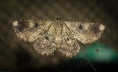Paradromulia ambigua underside (dustaway) Tags: arthropoda insecta lepidoptera geometridae ennominae paradromulia paradromuliaambigua australianmoths geometermoth geometridmoth australianinsects underside underwings mounttamborine tamborinemountain sequeensland queensland australia nature