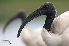 Ritratto ibis