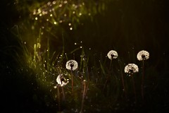 Splendor In The Grass (Chamblin1) Tags: dandelions bokeh spring grass weeds