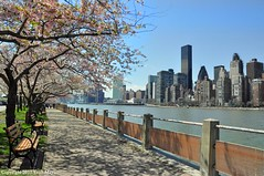 Under The Cherry Trees (Trish Mayo) Tags: cherryblossoms cherrytrees spring eastriver rooseveltisland manhattan bench esplanade