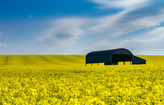 Black barn in a yellow field (Anthony White) Tags: sixpennyhandley england unitedkingdom gb rapeseed oilseed sony dorset dorsetuk eastdorsetdistrict clouds bluesky yellow cerealplant cereal stripes brassicaceae mustard