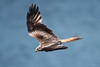 Red kite (Shane Jones) Tags: redkite kite raptor bird birdofprey birdinflight nature wildlife nikon d500 200400vr tc14eii