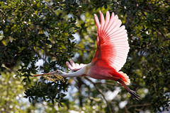 Still Nest Building (Explored) (dcstep) Tags: roseatespoonbill staugustinealligatorfarm rookery pink n7a3108dxo bif flight wing birdinflight flying allrightsreserved copyright2017davidcstephens dxoopticspro114 canon5dmkiv ef100400mmf4556lisii florida staugustine bird handheld getty ecoregistrationcase15586202651