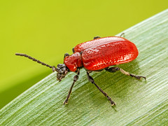 Lily Beetle (niloc's pic's) Tags: lilybeetle liliocerislilii red beetle insect bexhillonsea eastsussex panasonic lumix dmcgx7