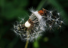 "Make a wish (Millie (On and Off)) Tags: ""inspiredbylove"" soe dandelion dry seeds stars flower weed nature outdoors makeawish spring"