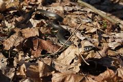 Zaskroniec zwyczajny - Lasy Parczewskie (arkbol) Tags: lubelskie lubelszczyzna grass snake lasy parczewskie parczew forest zaskroniec